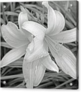 Black And White Lilies Acrylic Print