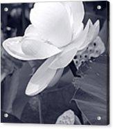 Black And White Lotus Acrylic Print