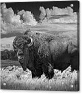 Black And White Photograph Of An American Buffalo Acrylic Print
