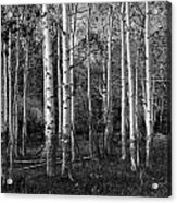 Black And White Photograph Of Birch Trees No. 0126 Acrylic Print