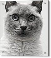 Black And White Siamese Cat Acrylic Print