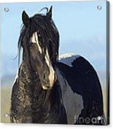 Black And White Stallion Comes Close Acrylic Print