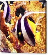 Black And White Striped Angelfish Acrylic Print
