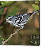 Black And White Warbler Acrylic Print