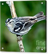 Black-and-white Warbler Mniotilta Varia Acrylic Print
