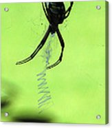 Black And Yellow Argiope - Spider Silhouette 02 Acrylic Print