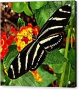 Black And Yellow Butterfly Acrylic Print