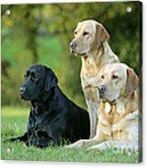 Black And Yellow Labrador Retrievers Acrylic Print