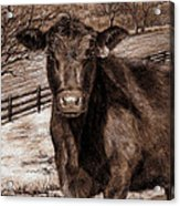 Black Angus In The Field Acrylic Print