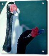 Black Beaked Swans Acrylic Print