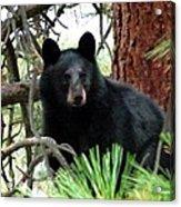 Black Bear 1 Acrylic Print