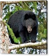 Black Bear 2 Acrylic Print