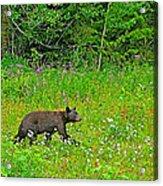 Black Bear Along Yellowhead Highway-bc Acrylic Print