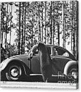 Black Bear Begging Acrylic Print