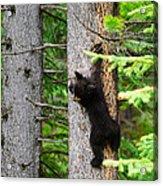 Black Bear Cub Climbing A Pine Tree Acrylic Print