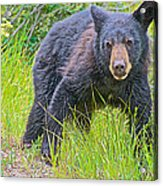 Black Bear Cub Near Road In Grand Teton National Park-wyoming Acrylic Print