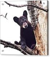 Black Bear Cub Up In A Dead Tree In Northern Minnesota Acrylic Print