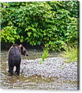 Black Bear Eating A Salmon In Fish Creek In Tongass National Forest-ak Acrylic Print