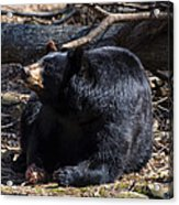 Black Bear Guarding Food Acrylic Print
