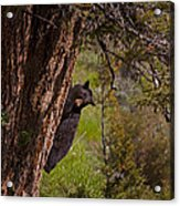 Black Bear In A Tree Acrylic Print