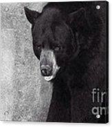 Black Bear Pose Acrylic Print
