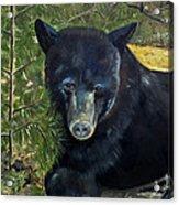 Bear Painting - Scruffy - Profile Cropped Acrylic Print