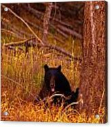 Black Bear Sticking Out Her Tongue  Acrylic Print