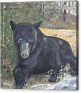 Black Bear - Wildlife Art -scruffy Acrylic Print