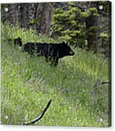 Black Bear With Cub Symetrical On Hillside Acrylic Print