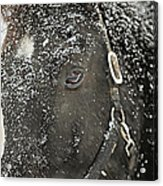 Black Beauty In A Blizzard Acrylic Print
