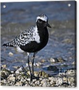 Black-bellied Plover No.2 Acrylic Print