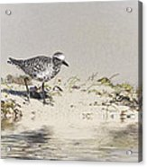 Black Bellied Plover Acrylic Print
