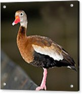 Black-bellied Whistling Duck Acrylic Print