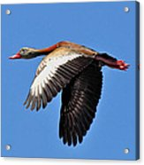 Black-bellied Whistling-duck In Flight  Acrylic Print