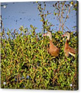 Black-bellied Whistling Ducks Acrylic Print