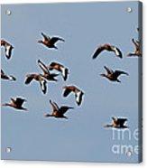 Black-bellied Whistling Ducks In Flight Acrylic Print