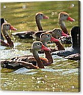 Black-bellied Whistling Ducks Acrylic Print
