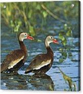 Black-bellied Whistling Ducks Wading Acrylic Print