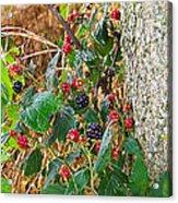 Black Berry Acrylic Print