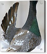 Black-billed Capercaillie Displaying Acrylic Print