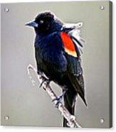 Black Bird Acrylic Print by Athena Mckinzie