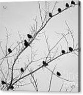 Black Birds Acrylic Print