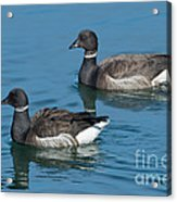 Black Brant Pair Swimming Acrylic Print