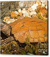 Black Breasted Leaf Turtle Acrylic Print