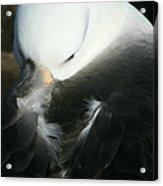 Black Browed Albatross Acrylic Print