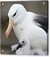 Black-browed Albatross And Chick Acrylic Print