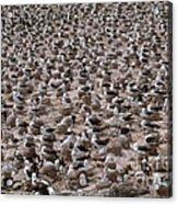 Black-browed Albatross Nesting Colony Acrylic Print