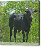 Black Bull Acrylic Print