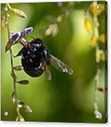 Black Bumblebee Acrylic Print
