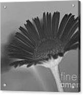 Black Buttercup Acrylic Print